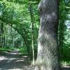Голосеевский дуб