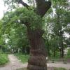 Дуб Шевченко