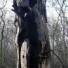 Сгоревший дуб