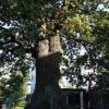 Сырецкий дуб