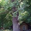 Аллея вековых дубов (11 шт)