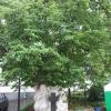 Липа Печерская (Липа св. Феодосия)