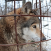 Волчья доля
