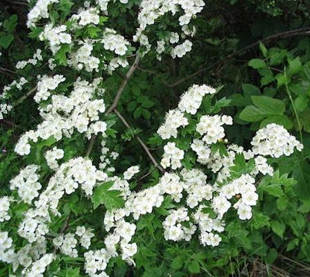 цветущие береки